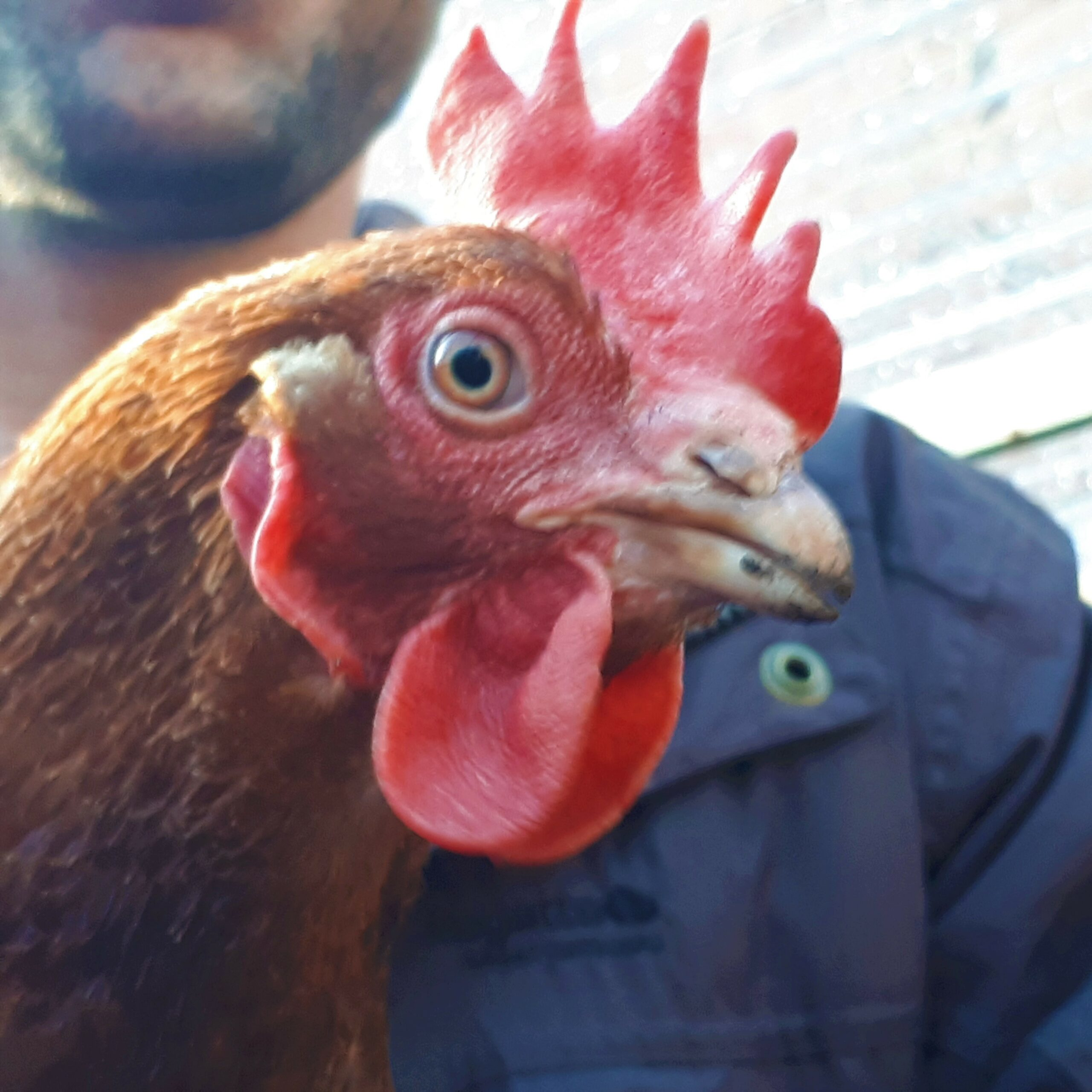 18. Chickens with character