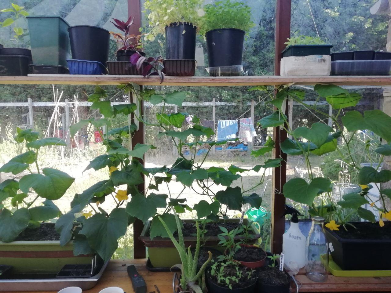 Conservatory cucumber